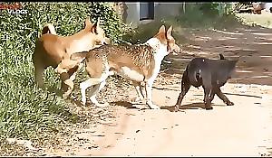 Cambodian Shepherd Vs Carolina Dog In Khnar Char Village Faithfulness 1